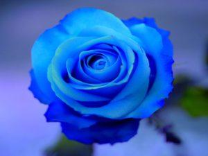 foto-de-una-rosa-azul